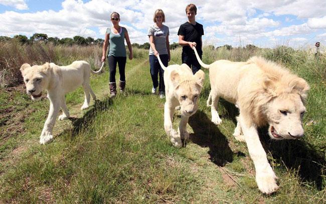 راهپیمایی با شیرها