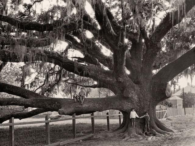 درختی در لوییزیانا آمریکا