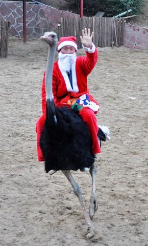 بابانوئل سوار بر شتر مرغ