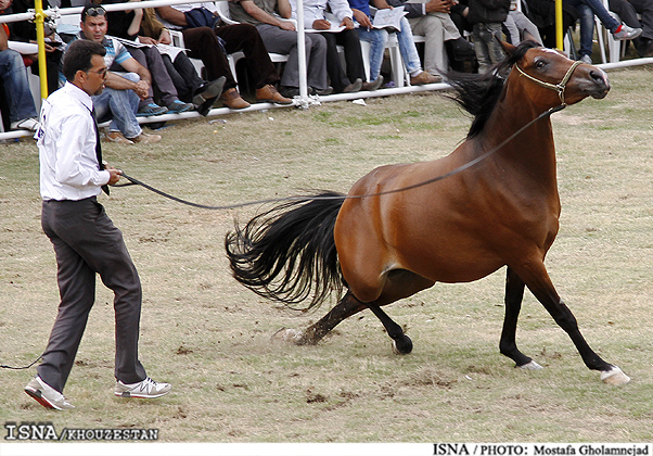 قیمت اسب عرب