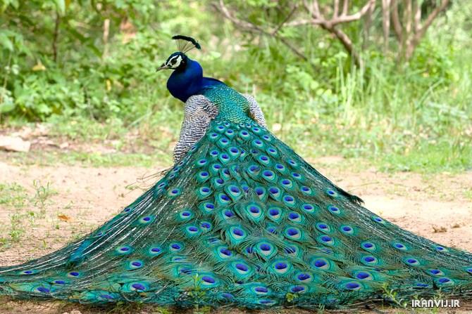 طراحی عکس طاووس