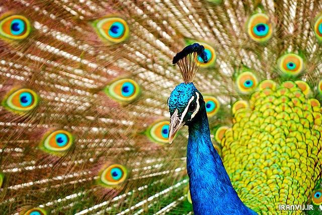 تصاویر بسیار زیبا از طاووس