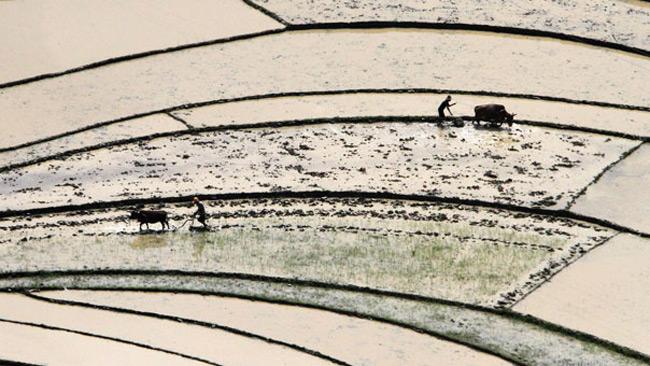 شالی برنج