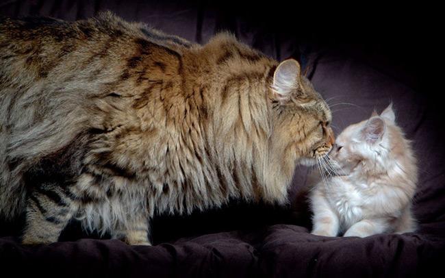 گربه بزرگ