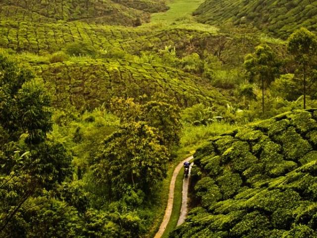 مزارع چای در مالزی