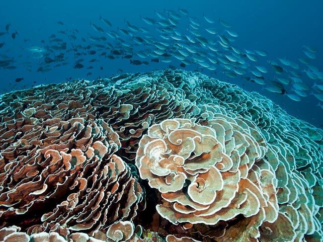 کلم های مرجانی