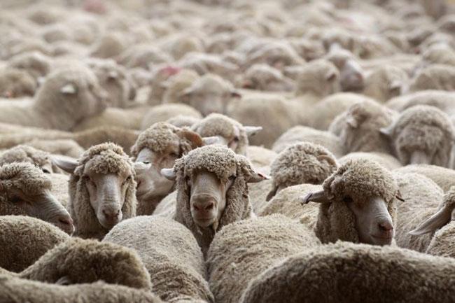 گوسفند قربانی