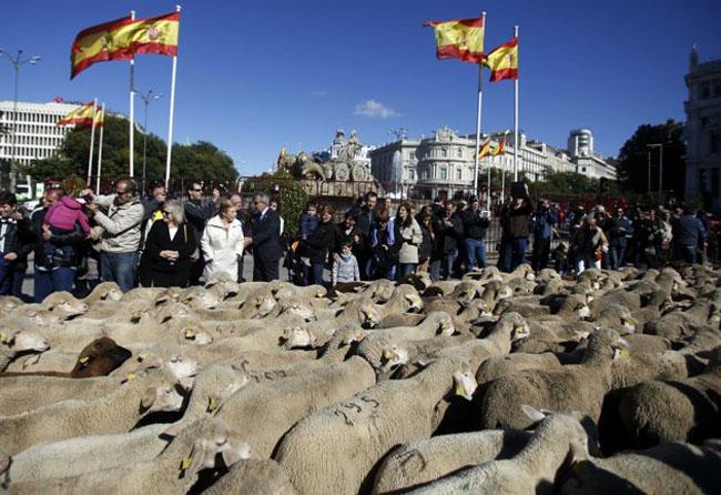 راهپیمایی گوسفندها