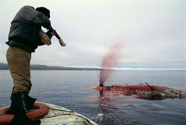Fotos de ballenas con cuerno 6