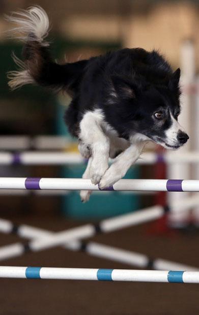 سگ چابک