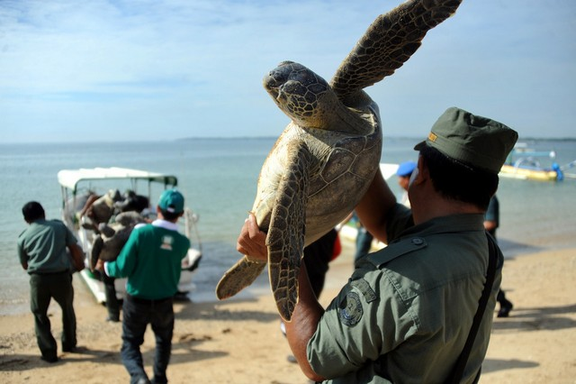 انداختن لاک پشت ها به اقیانوس