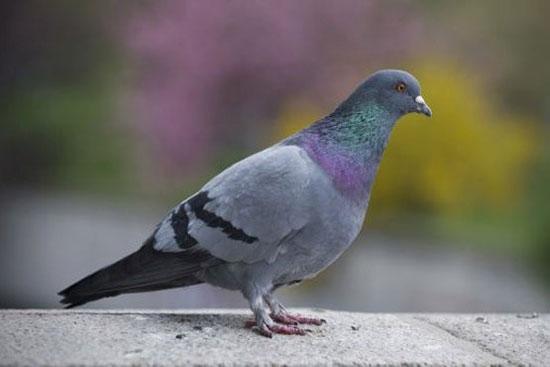 گرانترین کبوتر