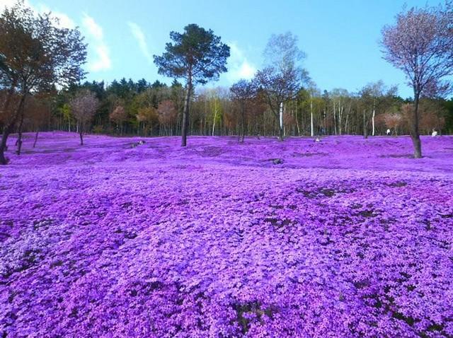 گل های شیبا ساکورا، پارک تاکینویی، ژاپن