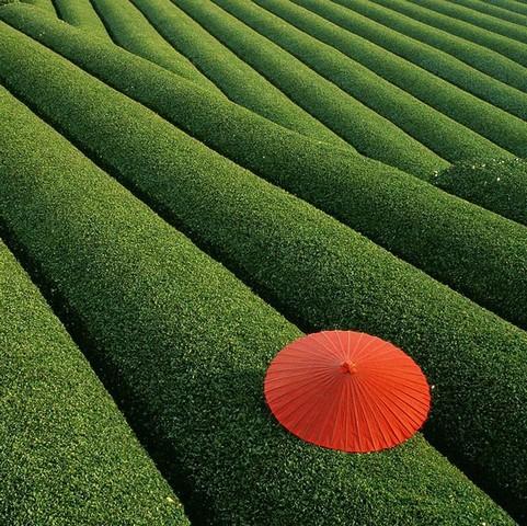 مزارع چای، چین
