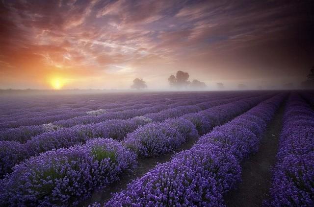 مزارع لاوندر، انگلیس و فرانسه