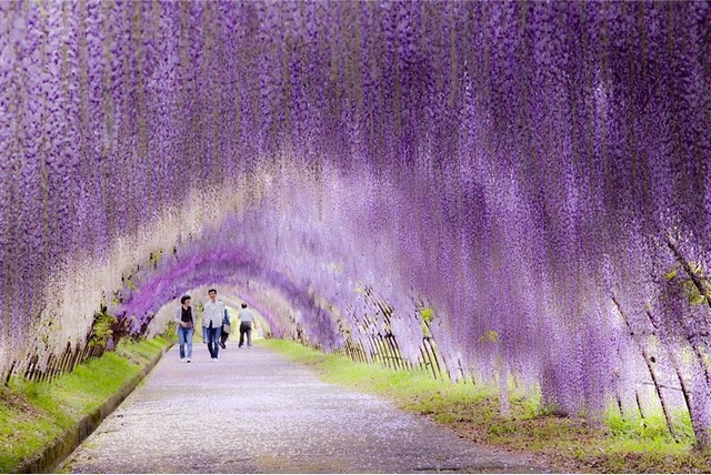 تونل گل های ارکیده، ژاپن