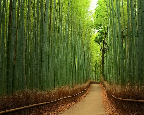 جنگل بامبو، ژاپن