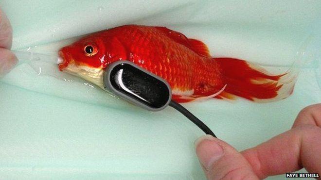 جراحی ماهی قرمزی که یبوست داشت (+عکس)