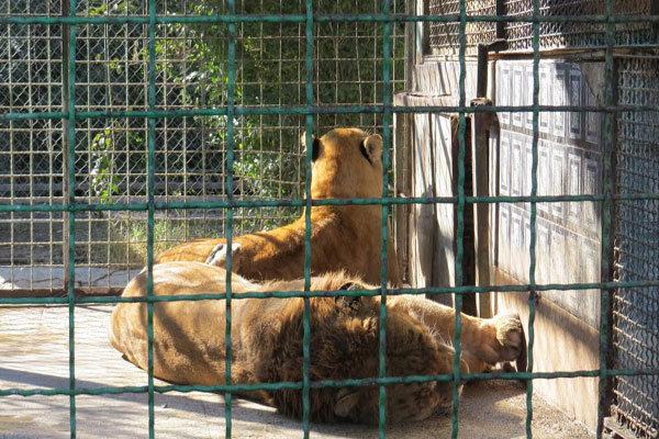 پیوند اجباری شیر و ببر در باغ وحش مشهد (+ع )