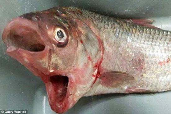 شکار ماهی عجیب با دو دهان (+عکس)