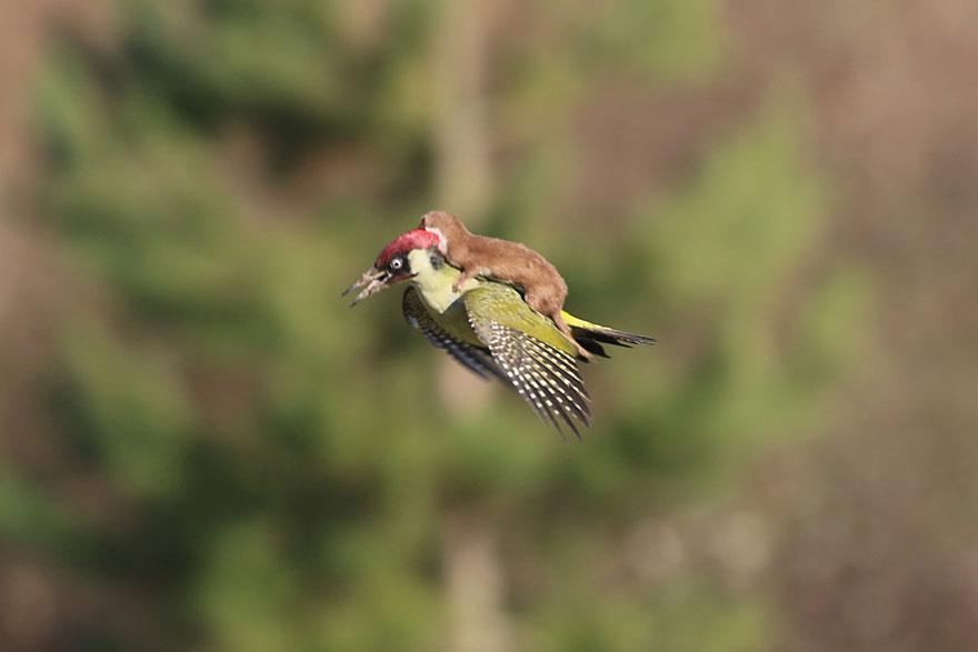 ع شگفت انگیز در طبیعت: راسویی که با دارکوب پرواز کرد