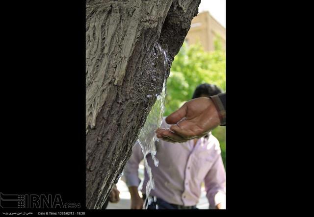جوشش آب از دل درخت در همدان (عکس)