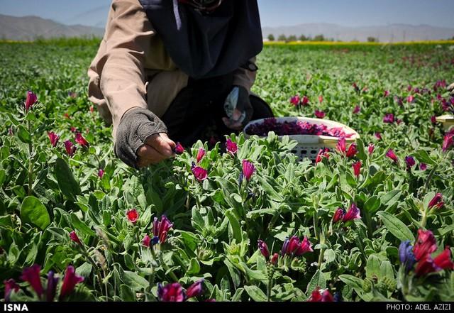 برداشت گل گاو زبان - اراک (عکس)