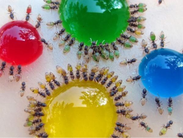 زیباترین گونهی مورچهها در جهان (عکس)