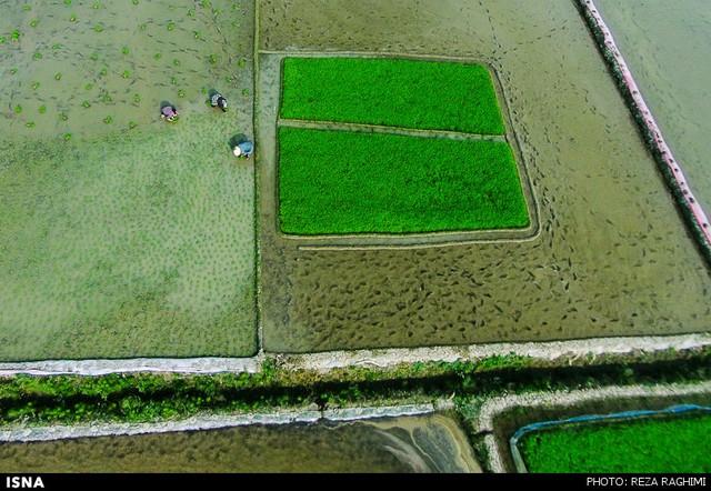 نشاکاری برنج در قائمشهر (عکس)