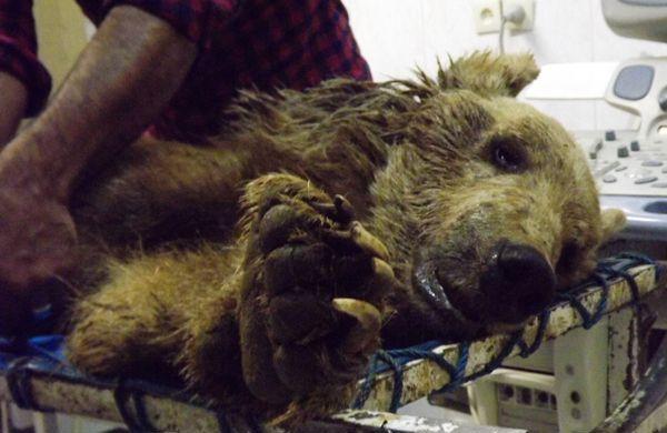 قتل یک ماده خرس در کرمانشاه با 100 گلوله! (+عکس)