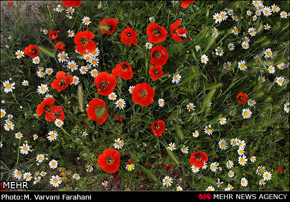 دشت شقایق - اراک (عکس)