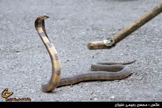صید مار کبرا در مشهد (عکس)