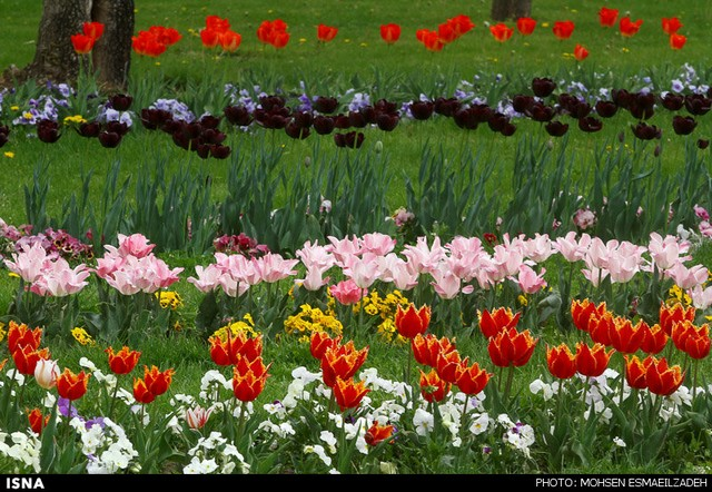 زیبایی گلهای پیازی - مشهد (عکس)