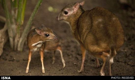 موش آهو تابحال دیده اید؟! (+عکس)