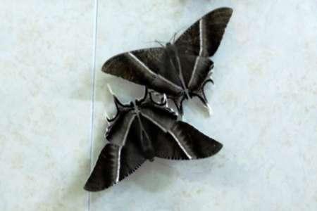 هجوم پروانه های غول پیکر به مالزی (+عکس)