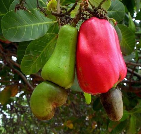 شکل اصلی و اولیه بادام هندی را ببینید (+ع )