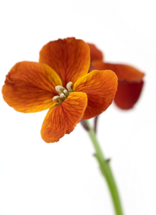 عکس گلهای زیبا ایران