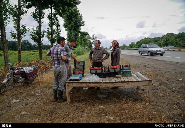 مزرعه توت فرنگی - گرگان (عکس)