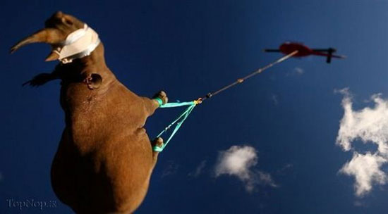 پرواز کرگدن (عکس)