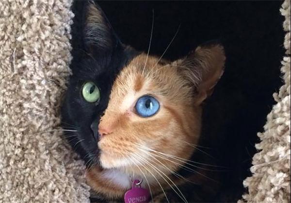 گربهای که شبیه هیچ گربهای نیست (+عکس)
