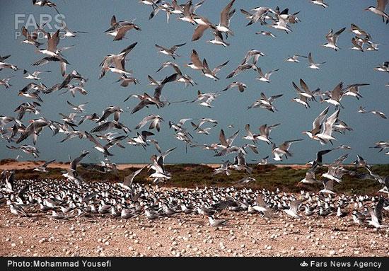 جزیره نخیلو؛ بهشت پرندگان دریایی (عکس)