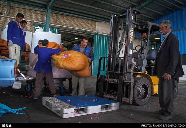 برداشت گل محمدی در لاله زار کرمان (عکس)