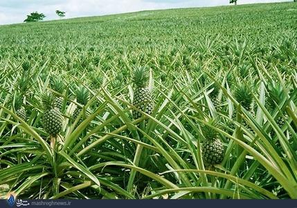 تاحالا درخت آناناس دیدی؟ (عکس)