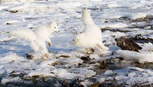 روباه قطبی، زیباترین پستاندار زمین (عکس)