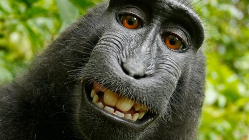 'سلفی' جنجالی یک میمون در ویکیپدیا (+عکس)