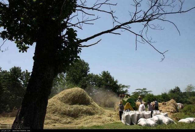 برداشت برنج در گیلان (عکس)