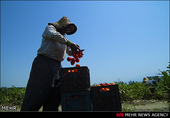 برداشت گوجه فرنگی - گلستان (عکس)