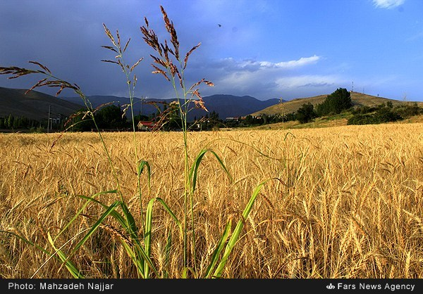گندمزار دماوند (عکس)