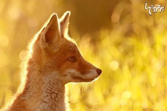 روباه های وحشی اما زیبا (+عکس)