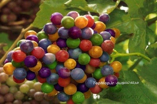 انگور های رنگین کمانی (+عکس)